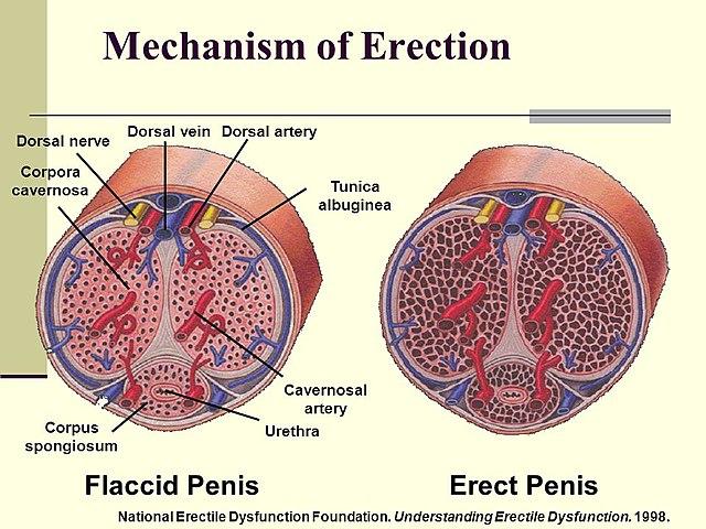 az erekció visszafogására