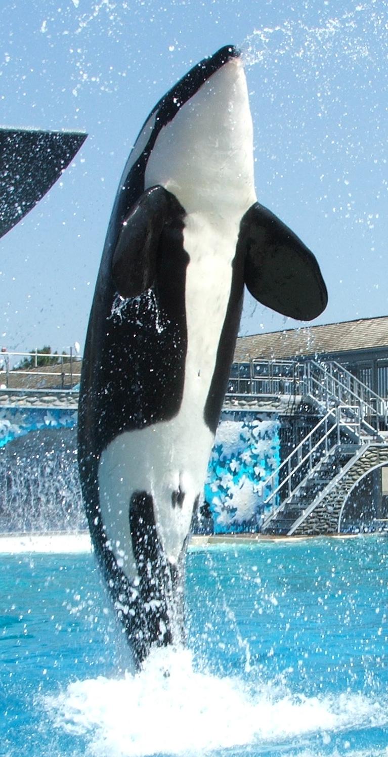 orcas pénisz)