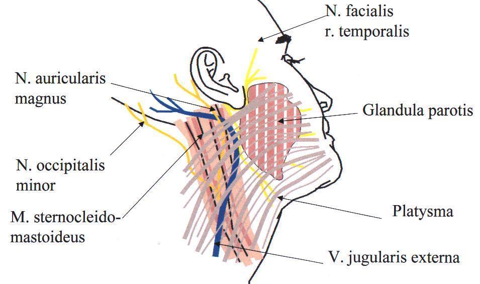 érinti-e az inguinalis sérv az erekciót