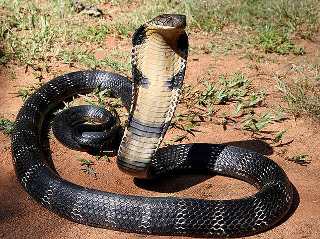 kígyó pénisz tinktúrája)