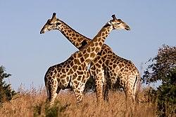 Mekkora egy kifejlett zsiráf péniszének a mérete?