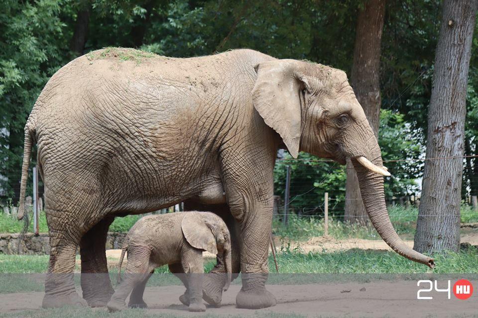 elefánt felállítása)