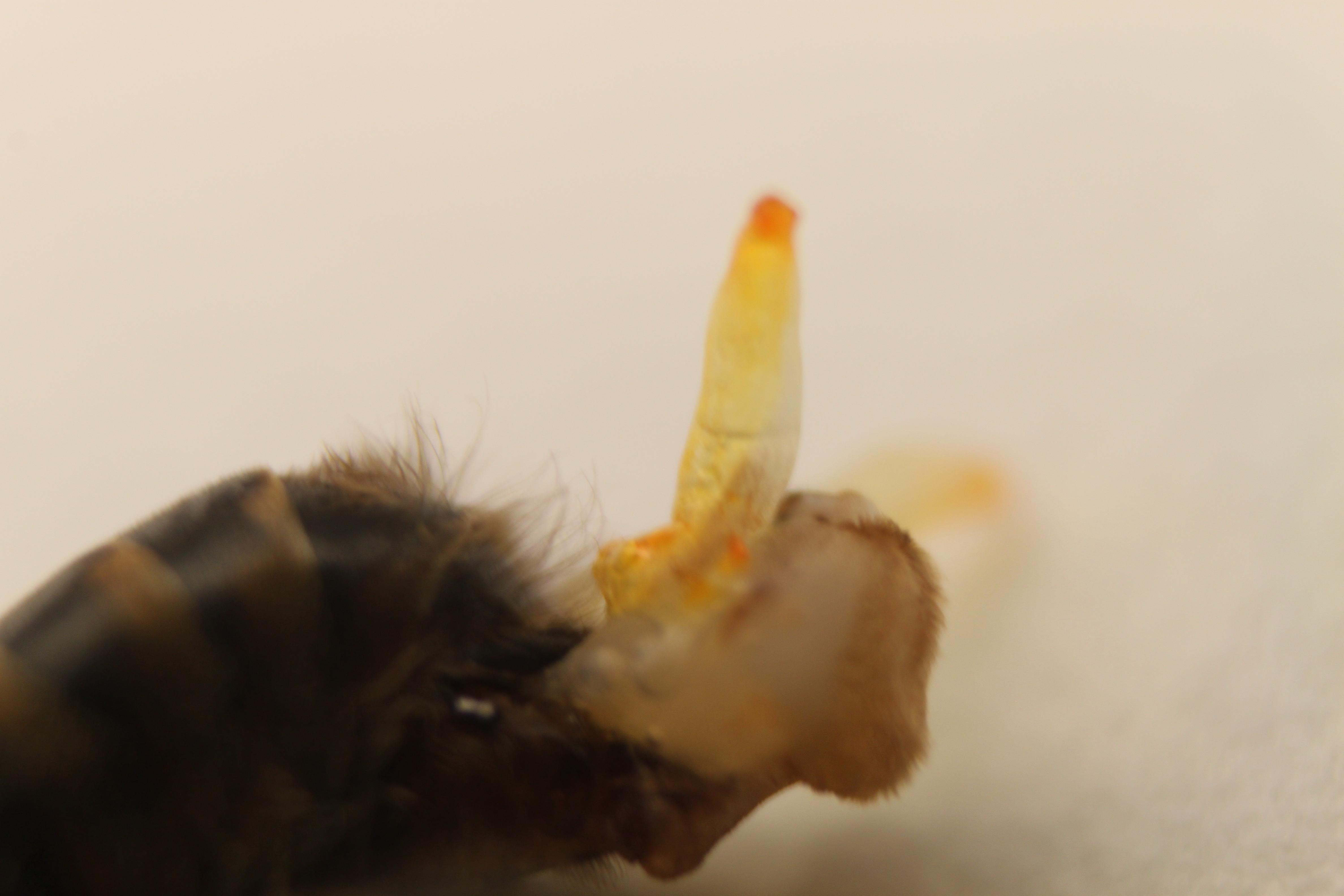 a méz megnövelheti a péniszét)