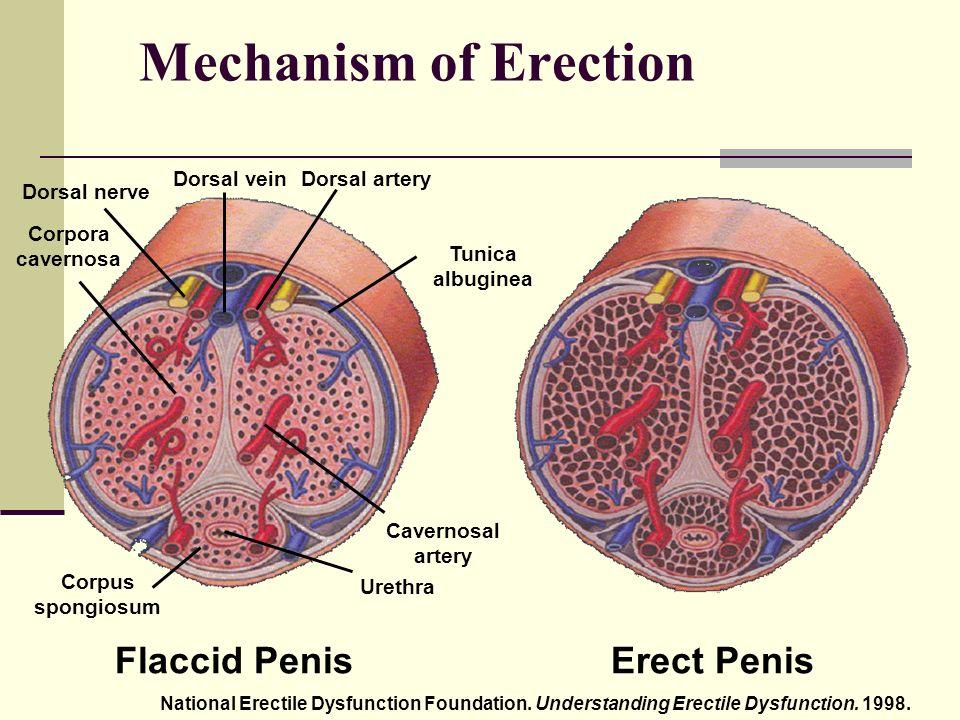 az éjszakai erekció mechanizmusa