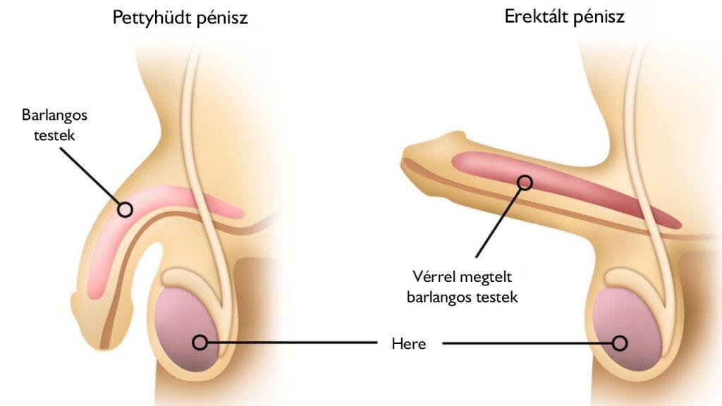 a pénisz az erekció során puha)