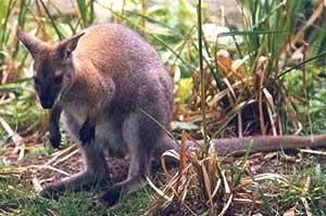 a kengurunak két hímvesszője van