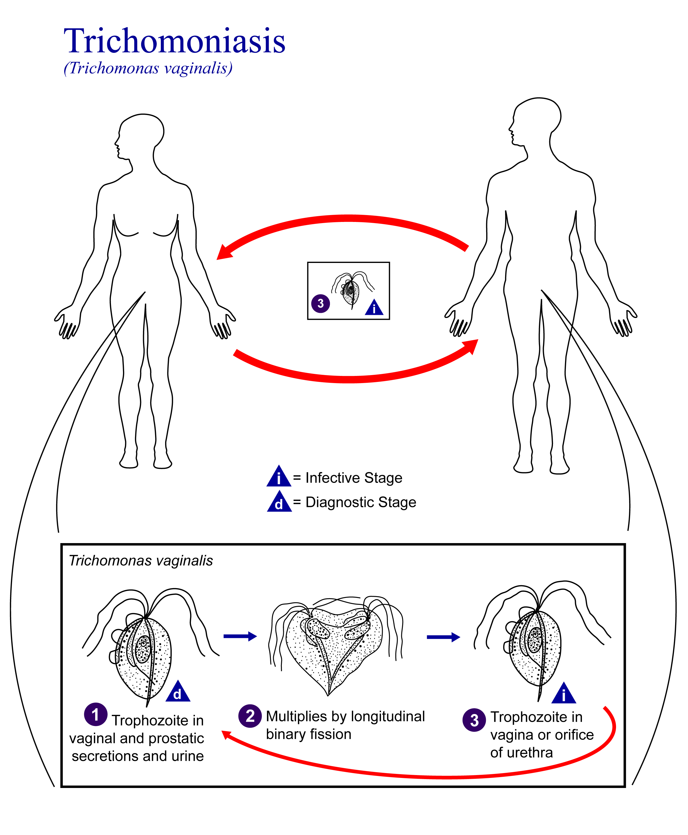 a pénisz gyakori felállítása)