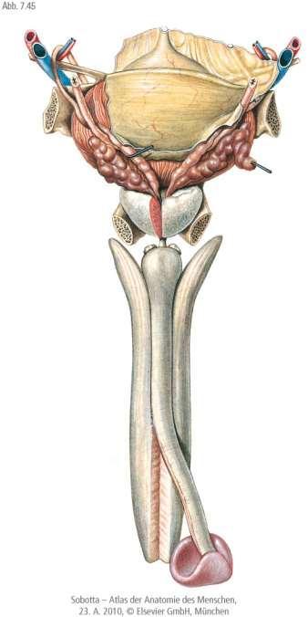 a pénisz nyálkahártyája