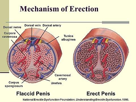 erekciós állapotban a pénisz problémái)