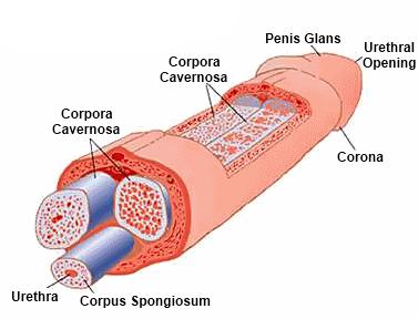 az erekció biokémiája a pénisz megnagyobbodása régi módszerekkel