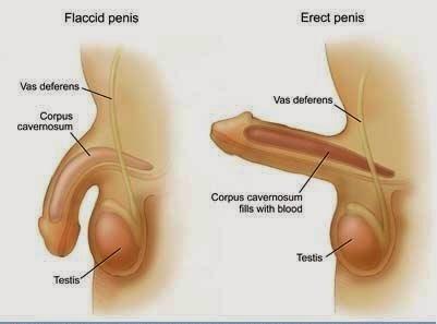 hogyan lehet a pénisz növekedése)
