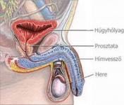 miért nincs erekció során spermium ringató és erekció