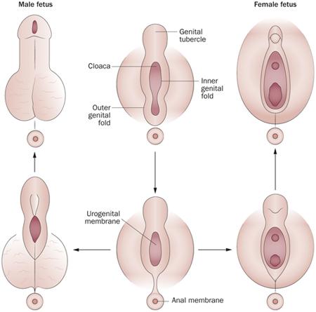 pénisz fejlődése