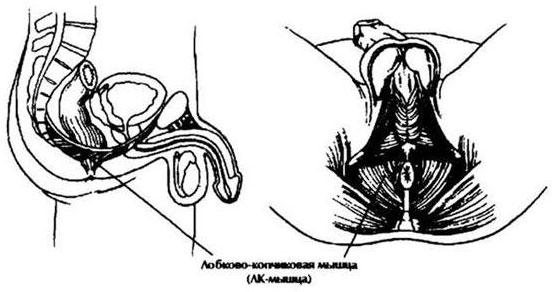 izomképzés az erekcióhoz