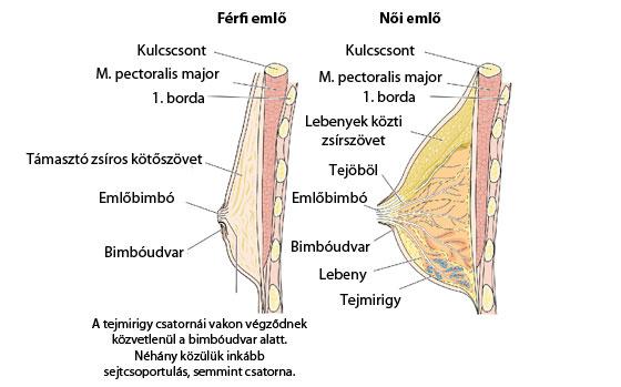 A mell anatómiája. Leírás - KészüljASzülésre!