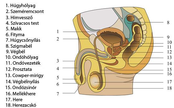erekció során a pénisz puha